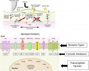 Dunn2016-1-MechSn cell membrane receptors & tissue deformation