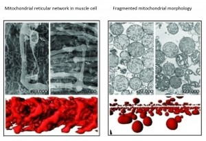 Picard2011-Mito reticular network in muscle cell & Fragmented mito morphology